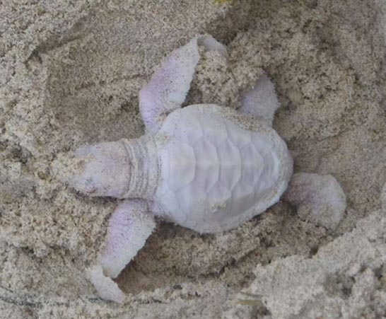 Extremely rare albino baby turtle found on Australian beach
