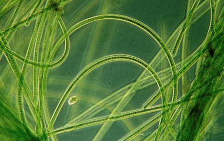 Researchers Find a Way to Harness Electrical Energy from Blue-Green Algae
