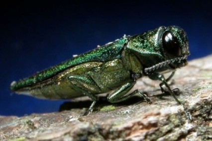 "A report published in Journal Star informed, ""Early June brought the news Nebraska foresters and horticulturists have been anticipating for several years -- confirmation of Emerald Ash Borer (EAB) within the state. On June 8, Nebraska Department of Agriculture confirmed an EAB infestation in Pulaski Park, in southeastern Omaha. A second confirmation from Cass County came the following week.""  Registration is required by calling (402) 441-7180 before Aug. 24. Cost is $15 per person/couple for one set of educ"
