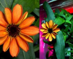 Scott Kelly Tweets Success of First Ever Flower Grown in Space