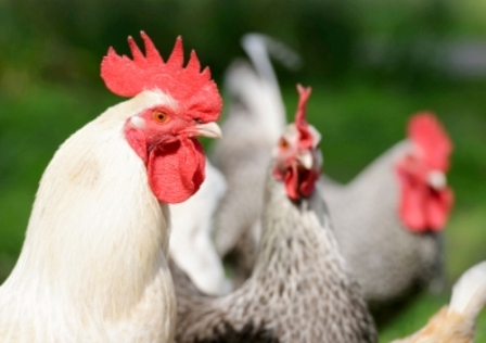 Live poultry across 25 states has sickened over 600 people with salmonella-related illnesses