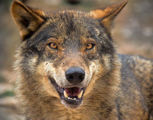 Wolf species speak in distinct howling 'dialects'