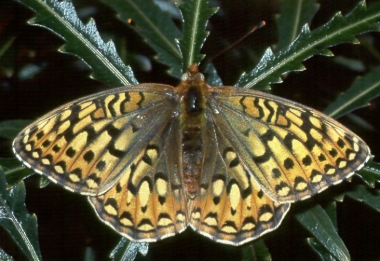 Great Basin silverspot butterfly in New Mexico may qualify for protection under Endangered Species Act