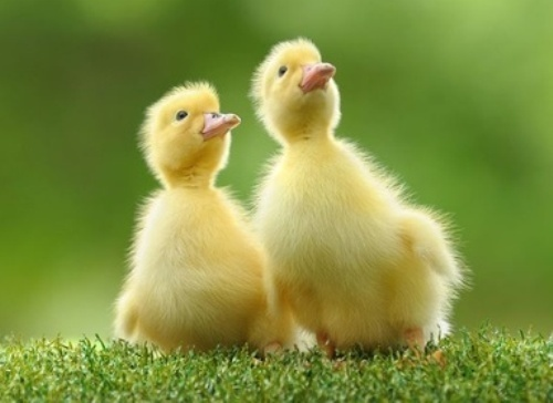 Newborn ducklings capable of comprehending complex concepts like 'same' and 'different', study finds