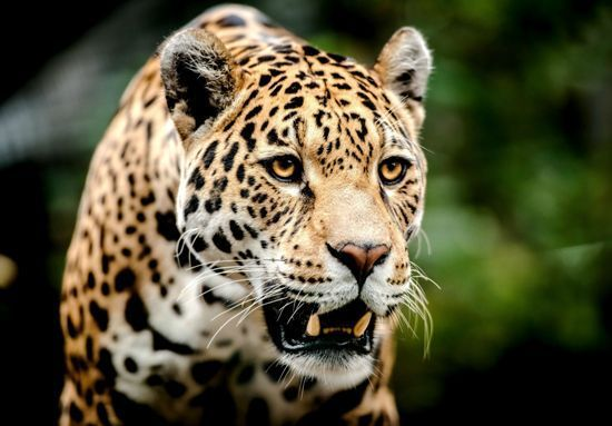 Video of the only known wild jaguar existing in United States leaves everyone stunned