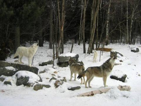 Minnesota's Wolf Population stable since Last Year
