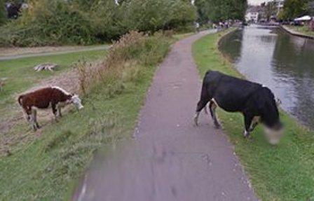 Google's automated face-blurring software blurs out a cow's face in Street View image