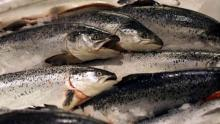 Genetically engineered salmon is fit for consumption, says FDA