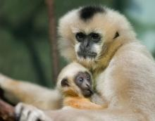 Discovery of New Family Group of Hainan gibbons increases survival Chance of world's rarest Apes