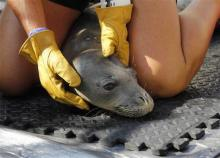 Four malnourished endangered Hawaiian monk seals getting help they need at Big Island hospital