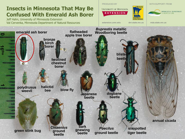 According to reports, the Minnesota Department of Agriculture confirmed on Tuesday that there is an emerald ash borer infestation in Scott County. Reports say that the invasive pest that kills trees was found on an ash tree in the city of Prior Lake.  It has been reported that on Tuesday, the Minnesota Department of Agriculture confirmed infestation by emerald ash borer in Scott County. As per reports, the tree-killing invasive pest has been spotted on a tree in the city of Prior Lake.  A call that was made