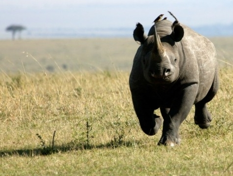 Genome Sequencing project is Important Step in Conservation of Black Rhinos