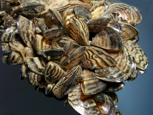 Rapid spread of zebra mussels in lakes can be prevented by cleaning watercraft, say officials