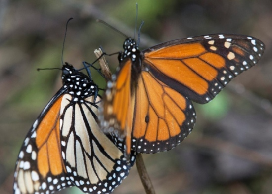 Higher number of monarch butterflies expected to reach Mexico this season
