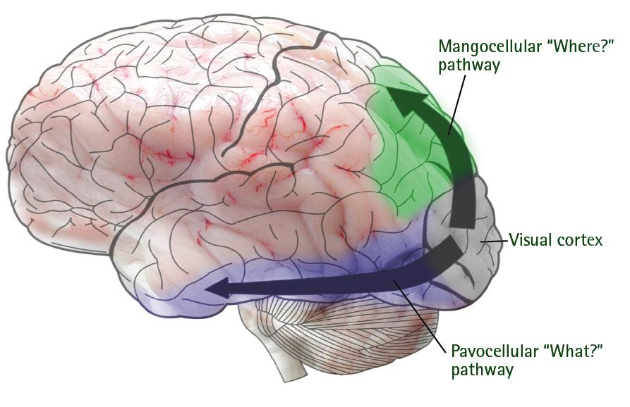 Visual cortex processes auditory information too