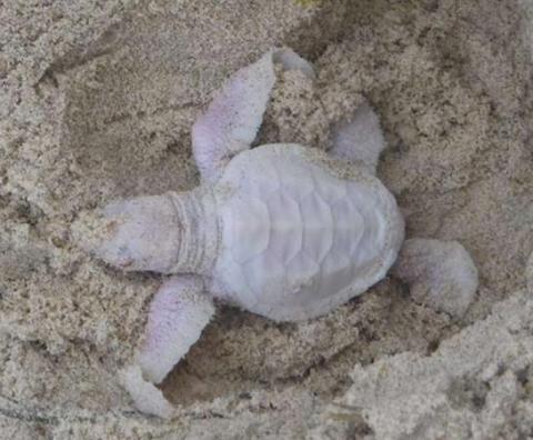 Extremely rare albino baby turtle found on Australian beach